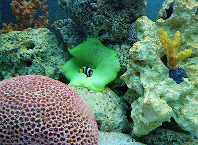 Clarks Anemone Fish or clown fish