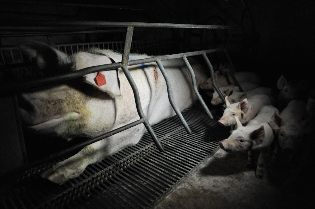 10 Alarming Facts About Factory Farms That Will Break Your Heart