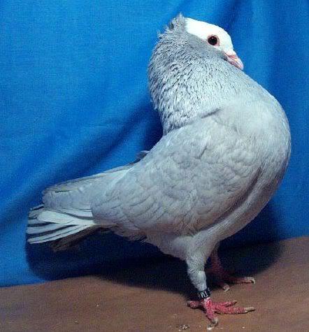 Download image Burung Merpati Hias Genuardis Portal Picture PC ...