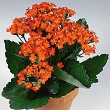 Kalanchoe Blossfeldiana Flower Picture