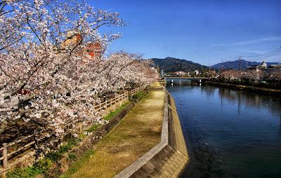 Cherry blossom Saiki Oita