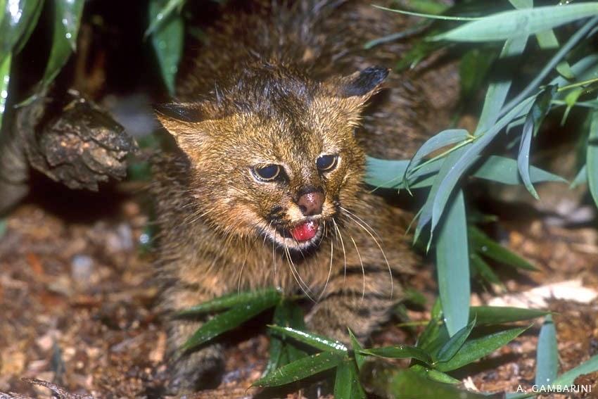 Pampas Cat Pictures