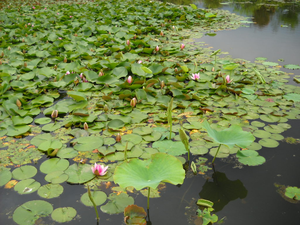 Daily glimpses of japan water lily and lotus photos and haiku in japan the root of the lotus rhizome is used as a vegetable it is called renkon it is the round thing with holes izmirmasajfo