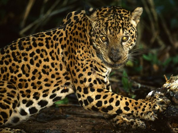Jaguar Facts  Pictures  Information   Animal Wallpapers   Wild