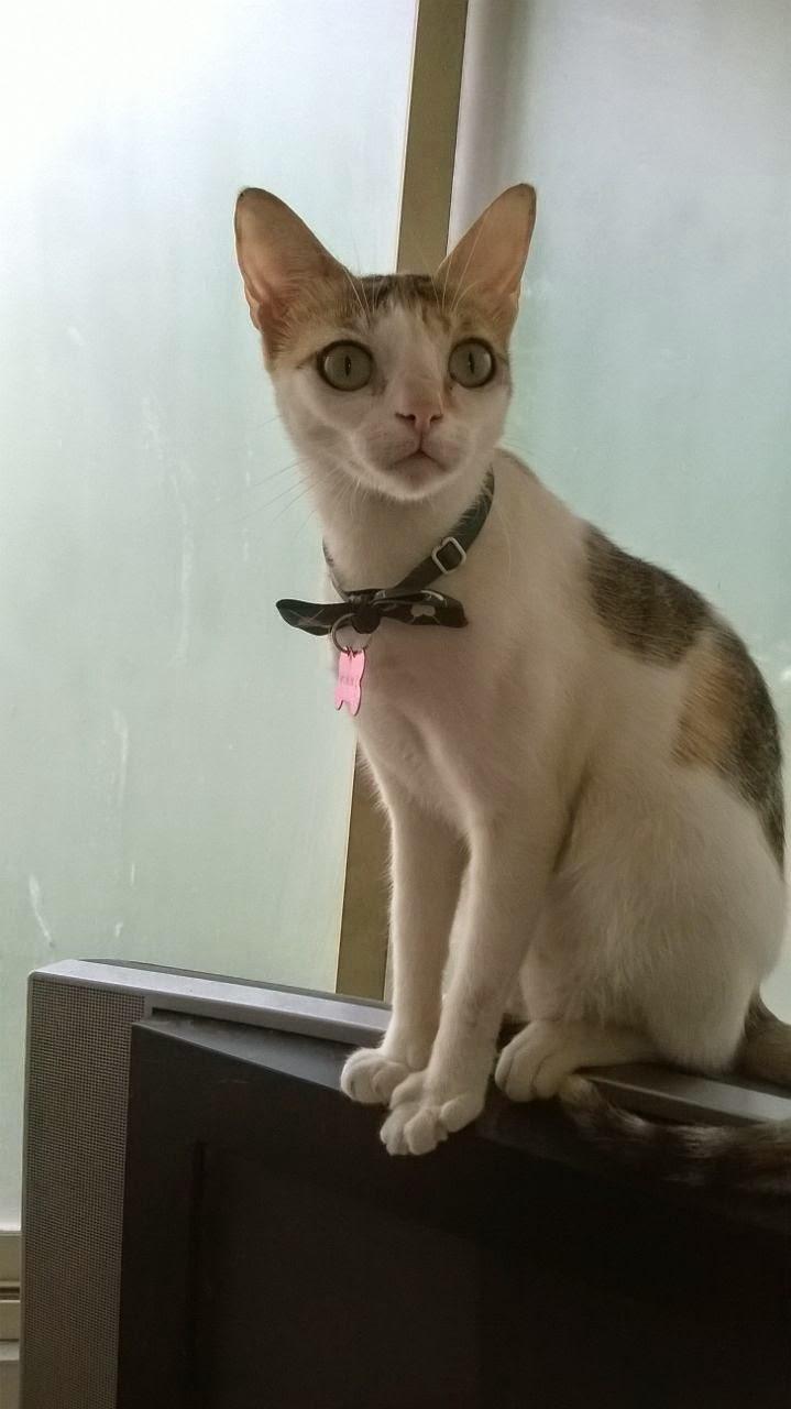 Penny Missing Cat Yari Road Versova Andheri Mumbai