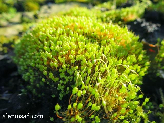 мох, спорангии, весной, аленин сад