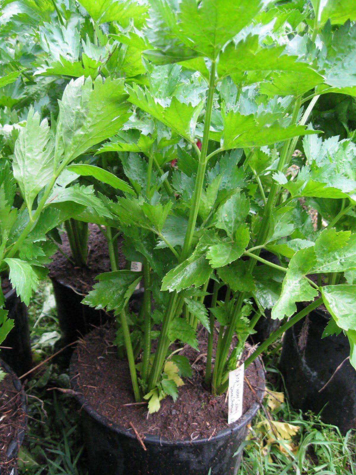 Сельдерей черешковый выращивание и уход в открытом грунте