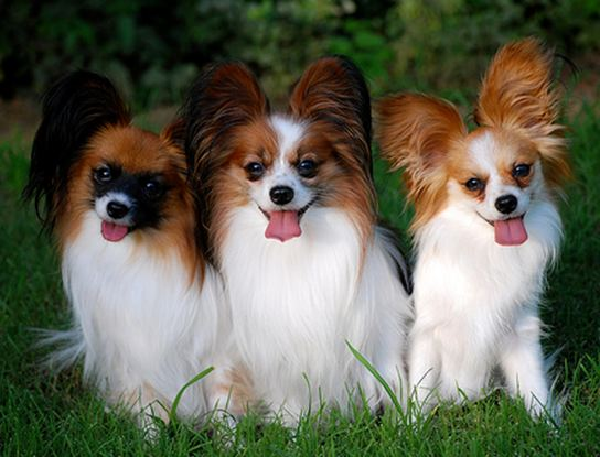 All List Of Different Dogs Breeds: Papillon Dogs