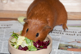 Guinea pig in food
