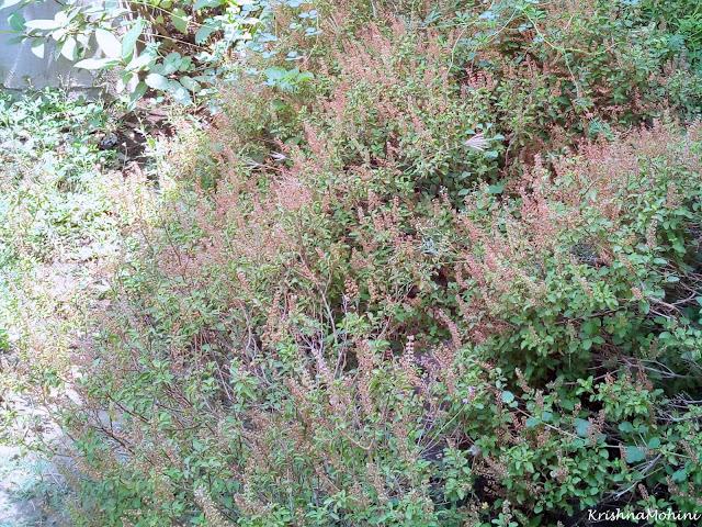 Image: Basil (Tulsi) Plants
