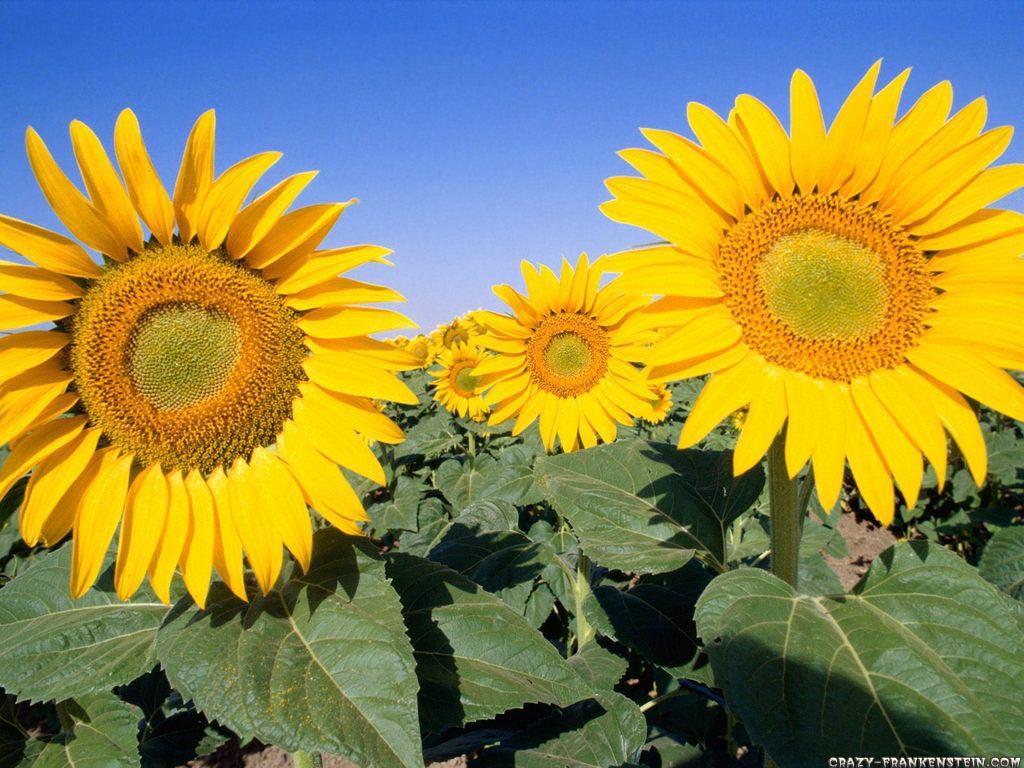 http://2.bp.blogspot.com/-FVZayNlqrfM/TjvDJ2Htj0I/AAAAAAAAAtU/xdQQkLwMNac/s1600/field-of-sunflowers-wallpaper.jpg