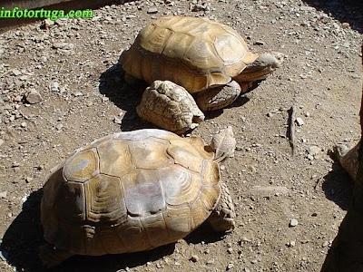 Centrochelys sulcata y Stigmochelys pardalis