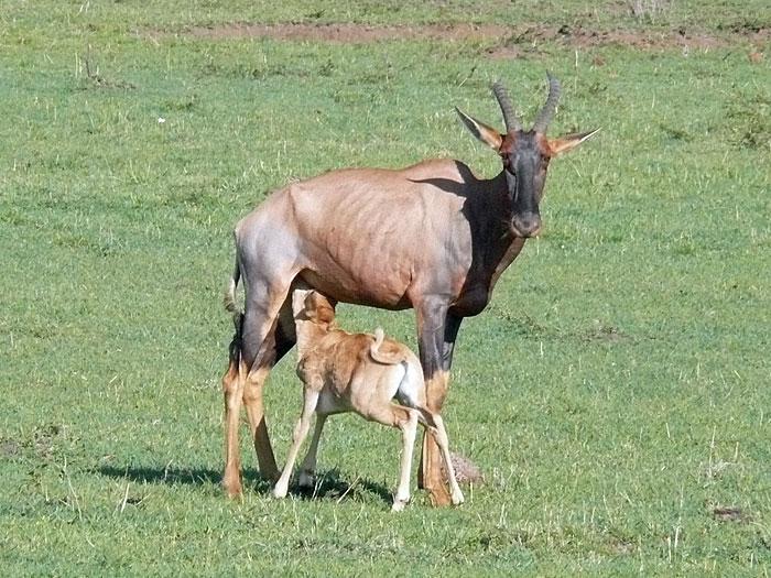 Bullyland tsessebe or assaby or topi ;-) Topi