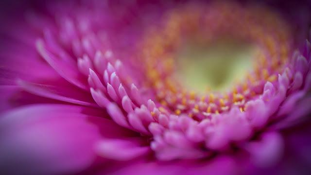 Gerbera Pink Petals