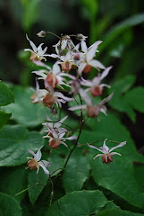 Epimedium brachyhizzum 'Elfin Magic'