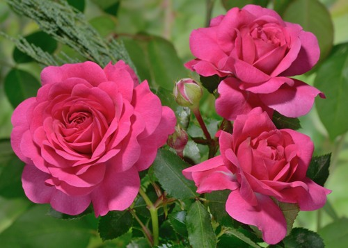 Sir John Betjeman rose сорт розы фото