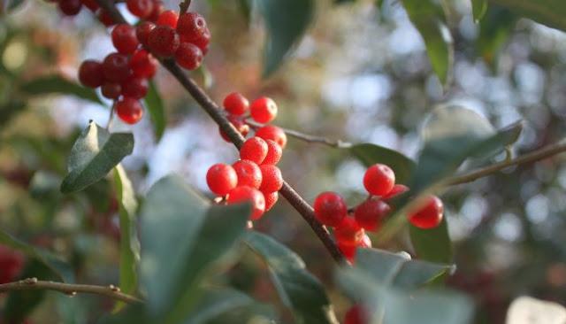 Autumn Berries7