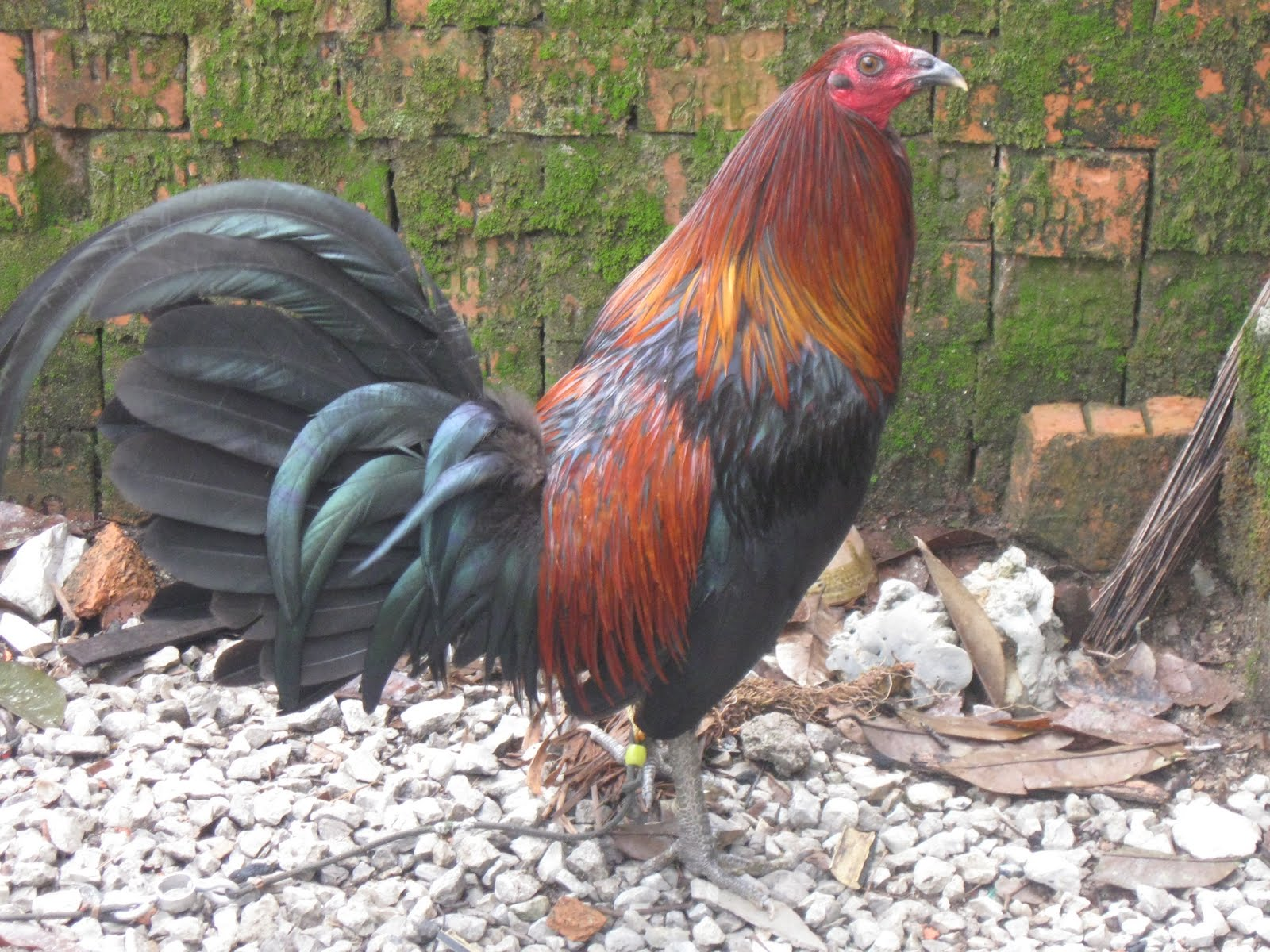 Brown Red Gamefowl Farm http://manoksabong-mark.blogspot.com/2011/09/black-mark-brown-red-hatch12-mcrae-14.html