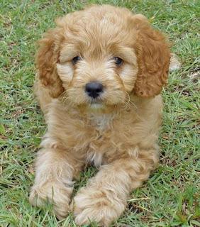 Top 10 Worlds Smartest Dog Breeds poodle