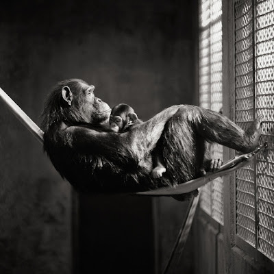 chimpanze - african animals - white black wallpaper brian day