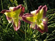 'Emerald Starburst' daylily