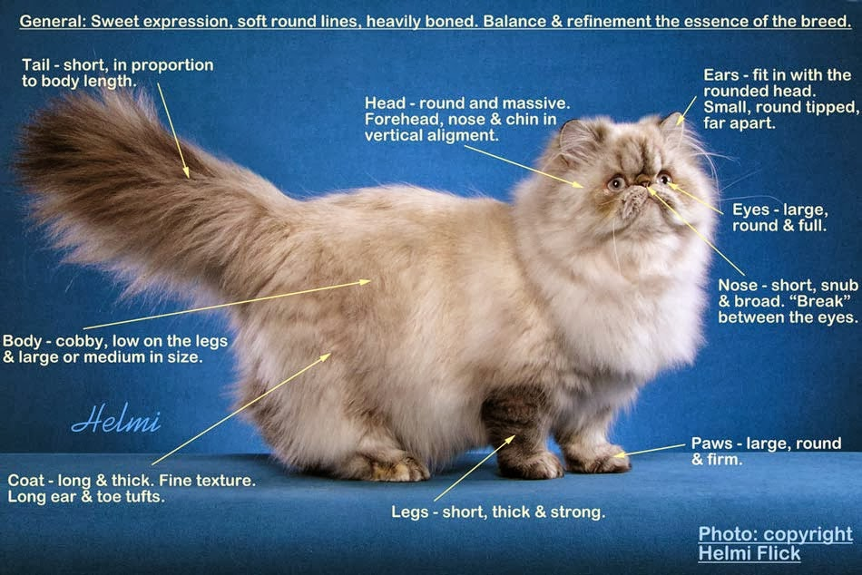 How to care for persian cats fur