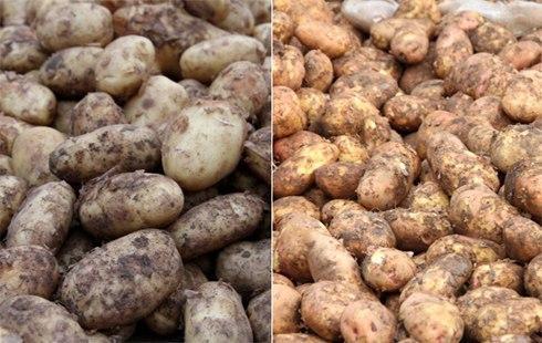 Cách phân biệt khoai tây của Trung Quốc với khoai tây của Việt Nam