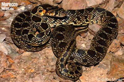 Horseshoe Snake
