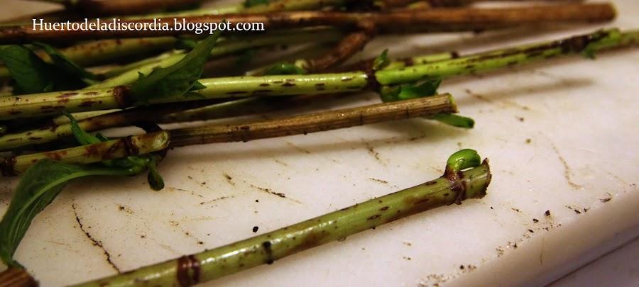 C mo cultivar hortensias a partir de esquejes plantas - Hortensias cuidados poda ...