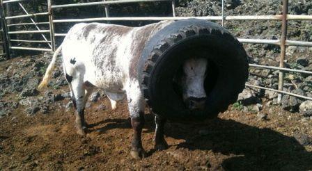 sapi terperangkap ban