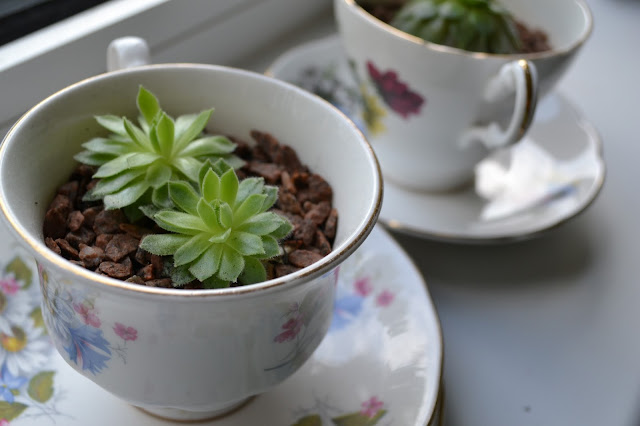 Succulents in tea cups