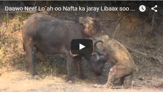 Muuqaal Aduunka ka yaabiyay Markii Sac uu iska difaacay Libaax-Video