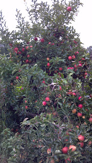 apple tree with a ton of fruit