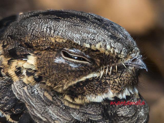 Large Tailed Nightjar (Caprimulgus macrurus)