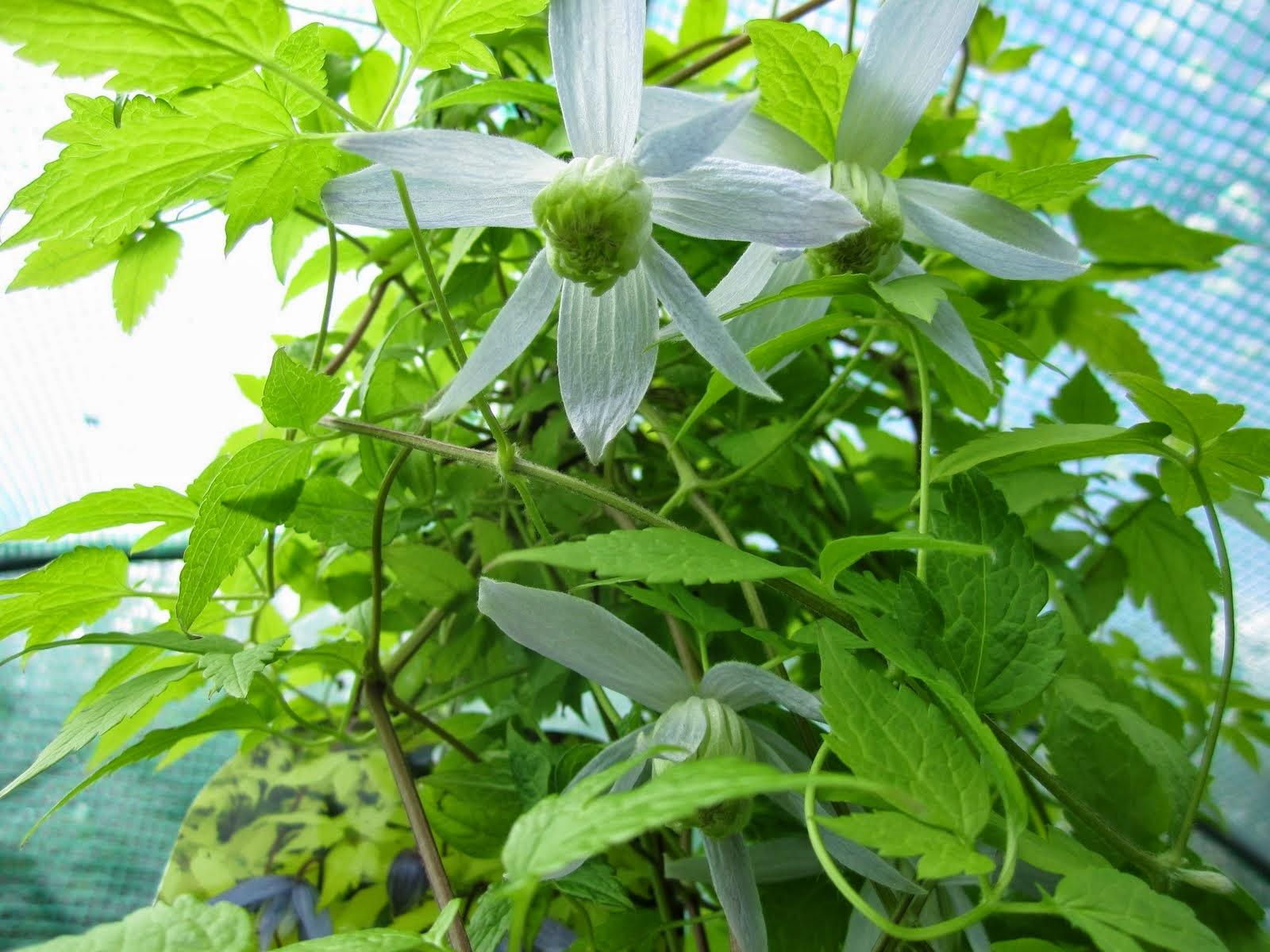 Nettes lille have: mine klematis