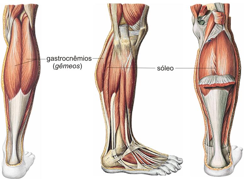 Fantástico Sóleo Anatomía Muscular Ideas - Anatomía de Las ...
