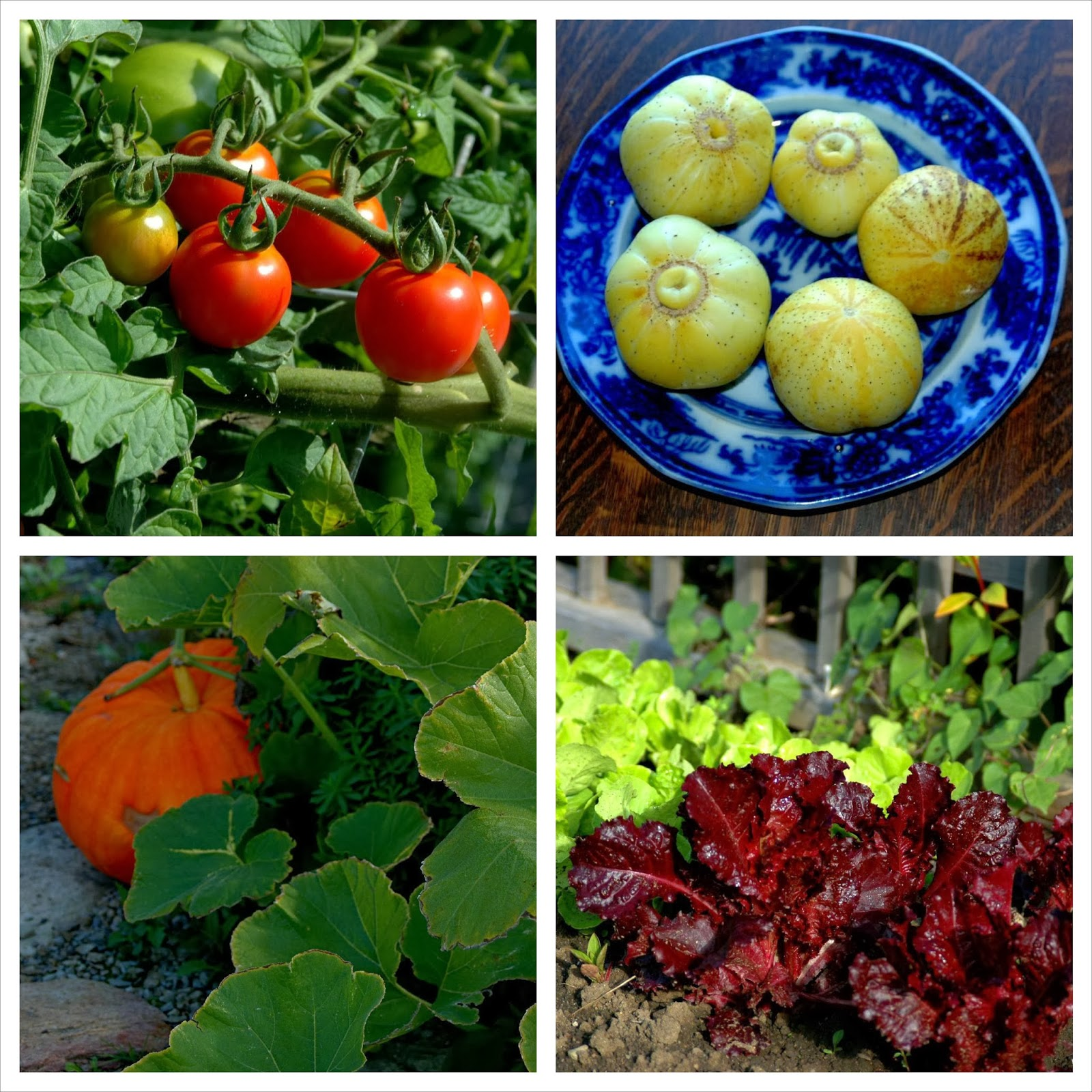"""Chadwick"" Tomato, ""Lemon"" cucumber, ""Red Sail"" lettuce"