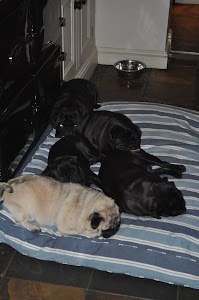 Pugs on New Bed from Hugo &amp; Hennie