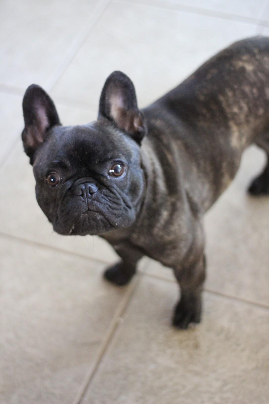 the chronicles of ruthie hart owning a frenchie. Black Bedroom Furniture Sets. Home Design Ideas