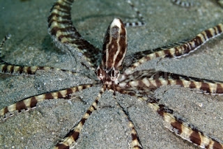 Mimic Octopus images
