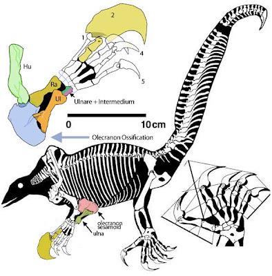 Drepanosaurus skull