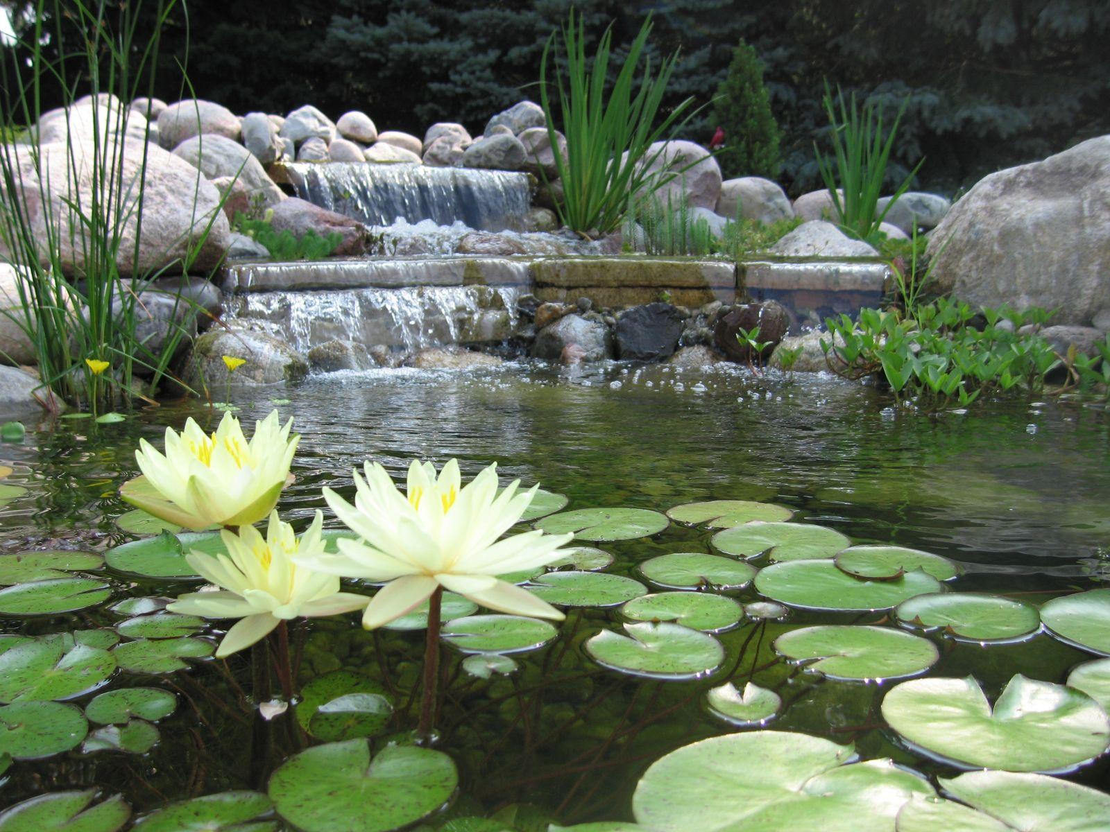 Arte y jardiner a plantas de estanques acu ticos for Estanque para agua caliente