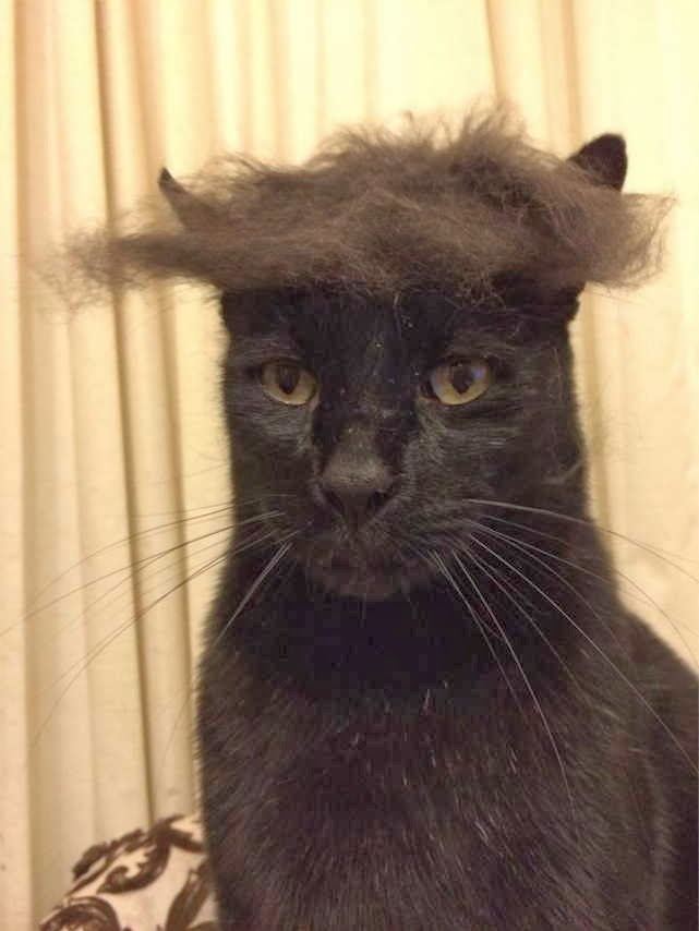 Funny cats - part 82 (40 pics + 10 gifs), cat photo, cat with wig