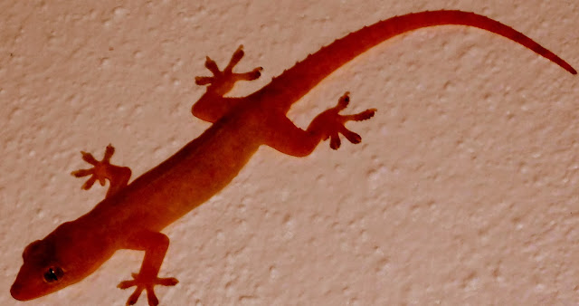 Keko o Hemidactylus frenatus