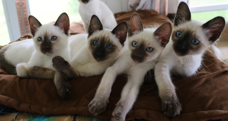 We have four male kittens available , one is a seal  Balinese