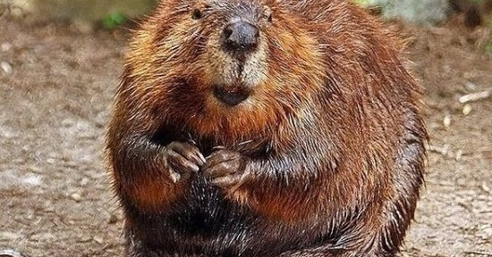 Beaver anal glands in food