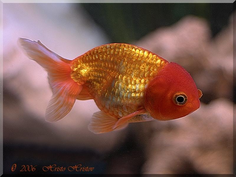Goldfish technique dating