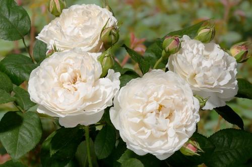 Winchester Cathedral сорт розы фото купить