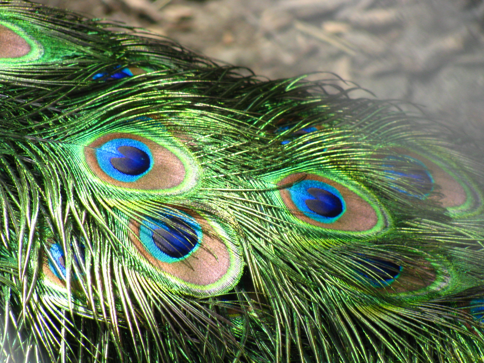Peacock Feathers | WallPapers