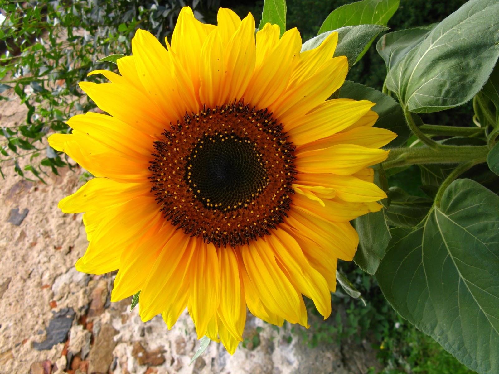 Cómo cuidar las plantas en verano Girasol